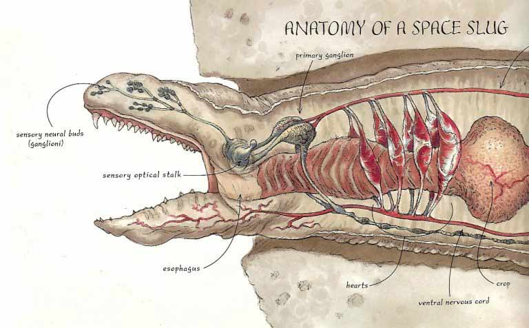 anatomie Exogorth